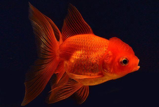 Золотые рыбки. Оптом и в розницу