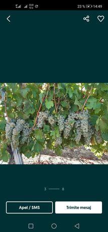 Vând struguri de vin recoltați în lădițe asigur transport oriunde
