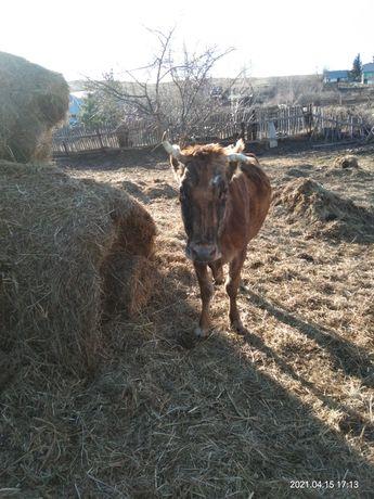 Продаются коровы по 450000 тн и нетель по 280000