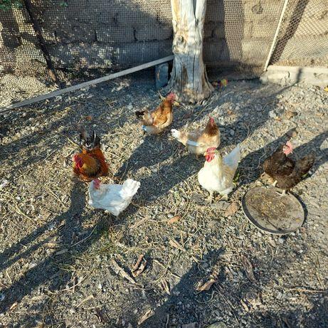 Продается курицы и петухы