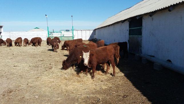 Племенные бычки 2-категории