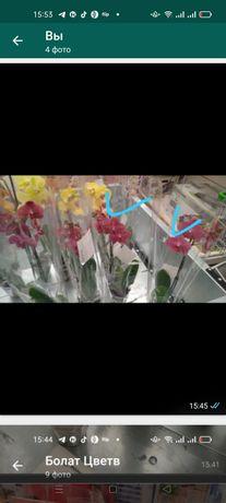 Орхидеи 5500 свежий завоз
