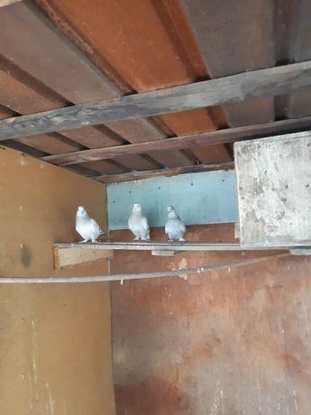 Продам  голубей порода  текла  цена за голову .