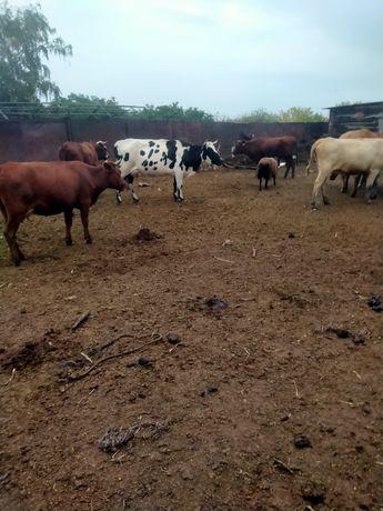 Продам молочную корову на фото черно пестрая