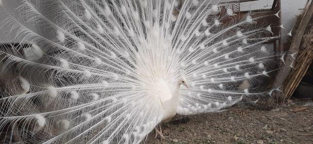 Păun alb  mascul
