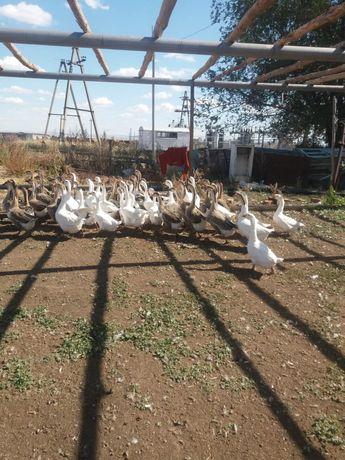 Продам гусей гусей