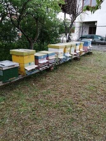 Vand 10 familii de albine puternice!