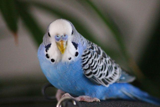 Волнистый попугай - синего цвета попугайчик