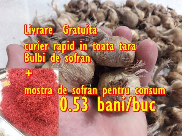 0.53 lei/bucata Bulbi de sofran Crocus sativus mix. 180-280/buc la kg