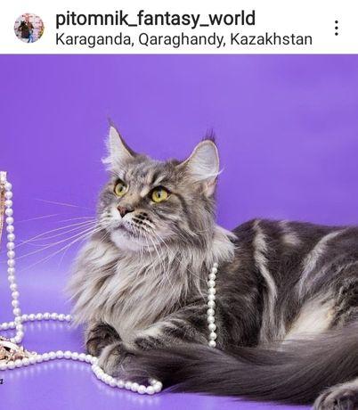 Мейн Кун кошка стерильная.