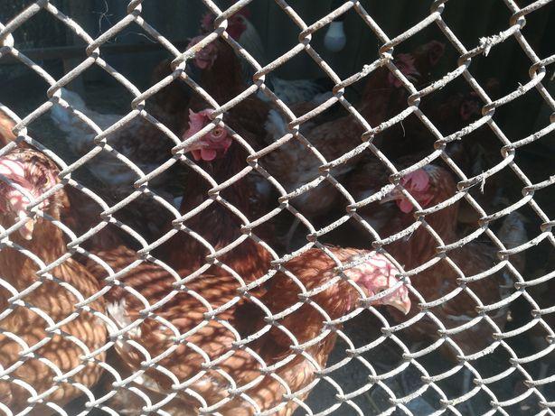 Курицы хайсекс браун