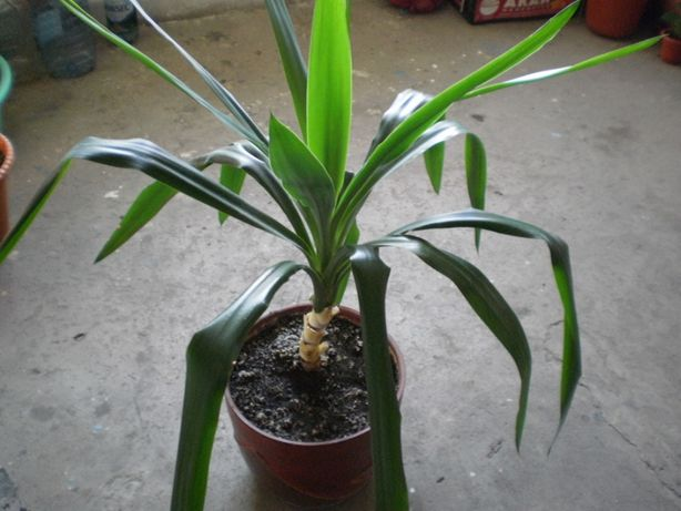 Planta de camera Yuca
