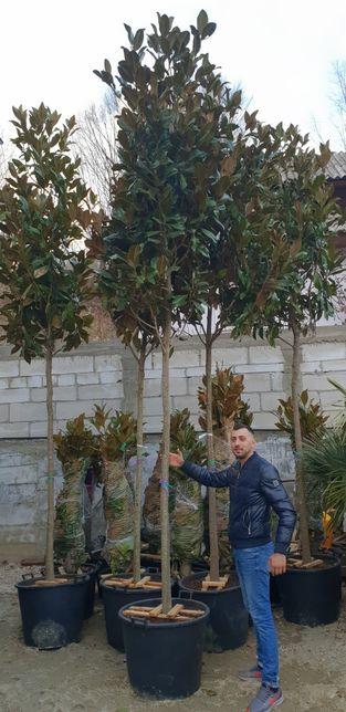 Magnolie grandiflora copac