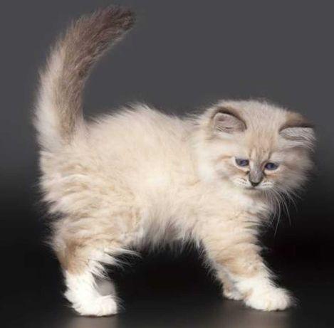 Котёнок мальчик Невский маскарадный