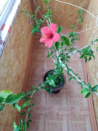 Продам Гибискус (китайския роза)