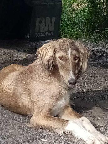 Найдена борзая собака р-н ОскеменВодоканала/Понтонный мост