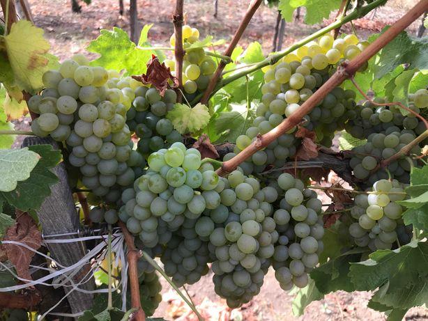 Struguri de masa pentru Vin sau tuica