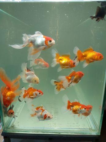 Продавам Златни рибки