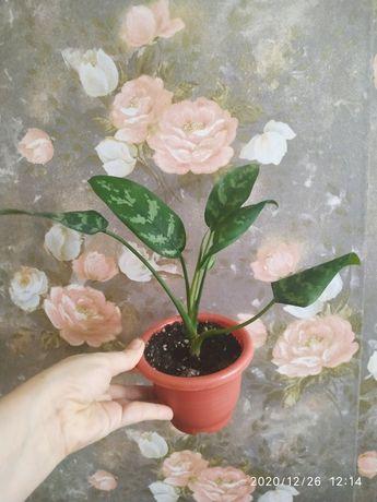 Продам комнатные цветы аглоанема