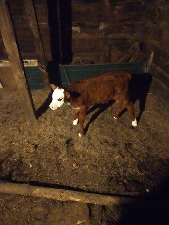 Продам телёнка недельный находится в Красноармейке цене 70000 звоните