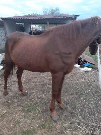 Vînd cal de căruță castrat curat fără nici un defect  trage foarte bin