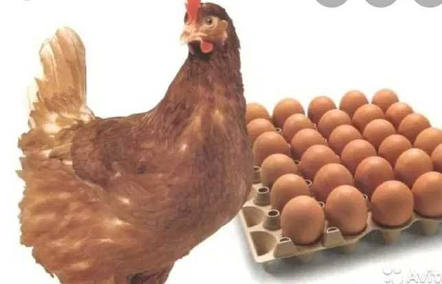 Инкубационные яйца Ломан браун