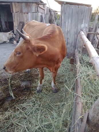 Продам корову, 2 отёла