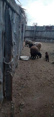 Козылы койлар сатам продам баран с ягненками