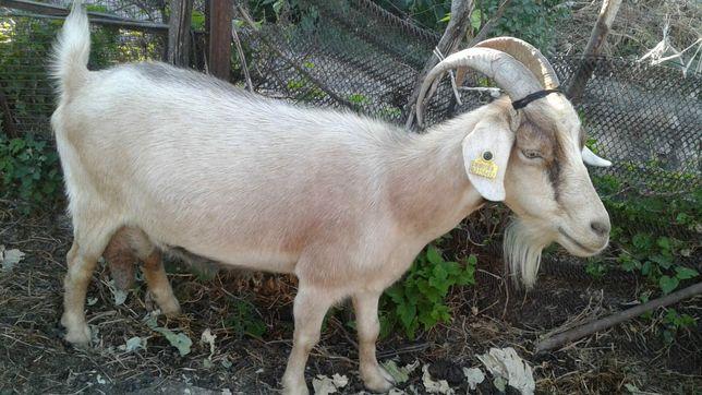 Продаётся дойная коза