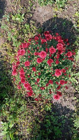 Цветы Хризантема 1000