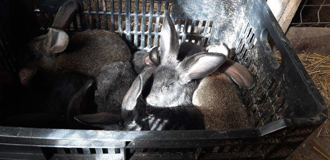 vand iepuri pentru prasila si sacrificare