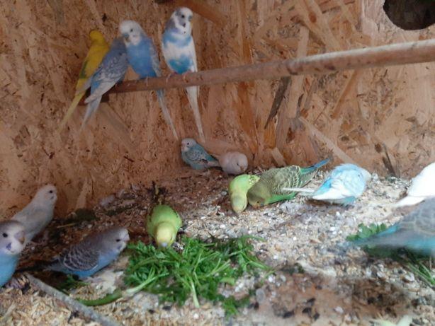Papagali (perusi)