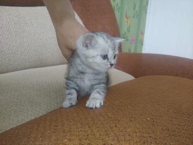 Шотландские котята.есть мальчики и девочки.мама прямоухая.папа вислоух
