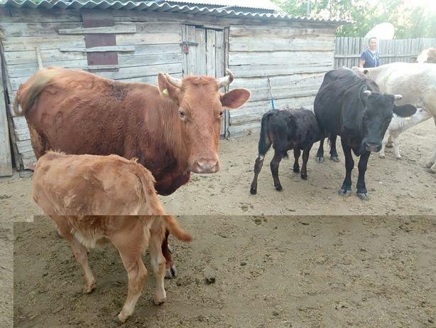 Крс мрс коровы, телки, телята, бараны