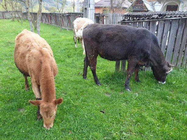 vand vaci diferite rase HOLSTEIN, ANGUS, BALTATA, BRUNA