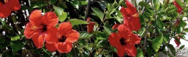 Цветы гибикус дерево