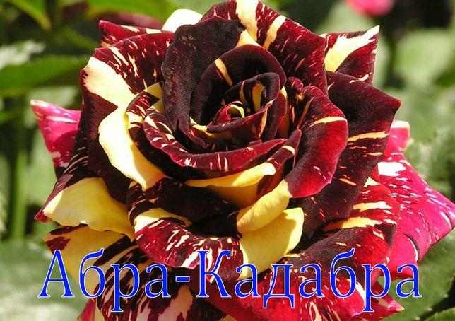 Розый всех сортов саженцый Оптом