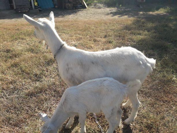 Срочна  продам козы