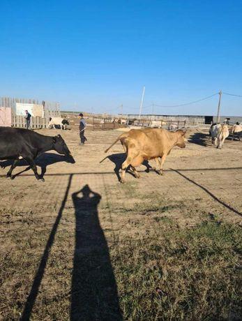 Продам КРС.коровы дойные