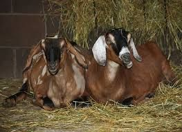 Lapte de capra organic proaspat muls si igienic curat normal autentic