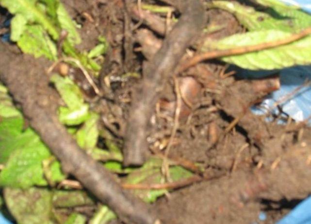 Rădăcina de Tătăneasă planta medicinala de leac