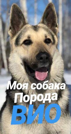 Отдам в хорошие руки сторожевую собаку породы ВЕО