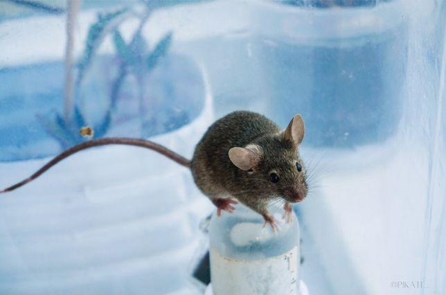 Продам мышей декоративных