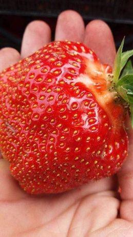 Foarte Dulci si Aromate! Plante căpșuni