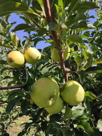 Продам яблоки золотой превосходный