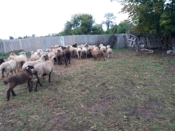 Продам овцематки