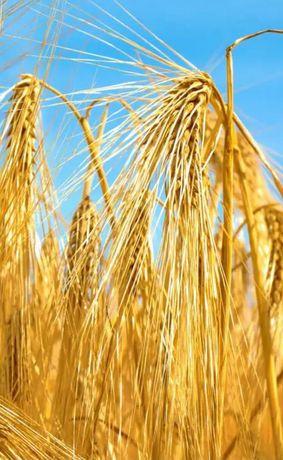 Продам пшеницу , ячмень оптом