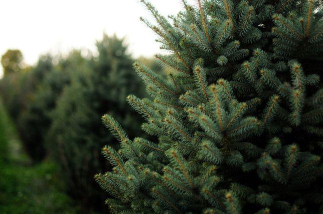 Molid argintiu american 3 ani- Picea pungens Glauca Arizona Apache