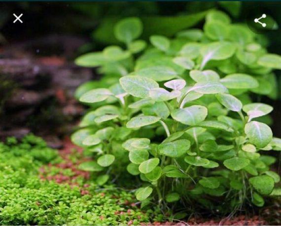 Аквариумное растение лобелия минима