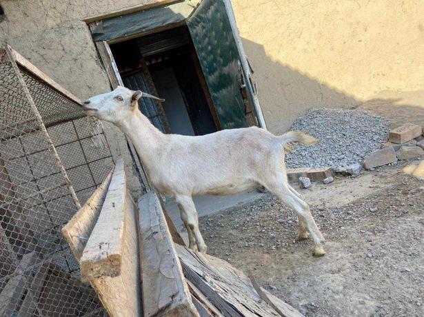 Коза альпийско-чешской породы